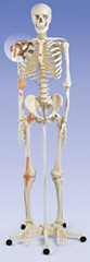 A12_ligament-skeleton-leo-on-5-feet-roller-stand